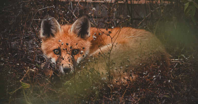 A fox in the undergrowth